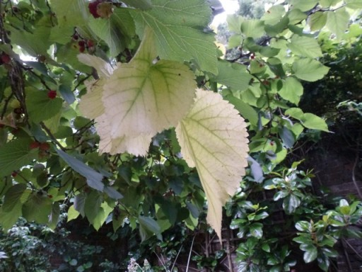 The leaves on this mulberry tree have turned yellow