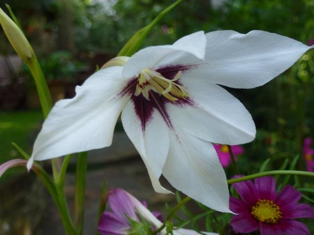 white flower of gladiolus murielaae