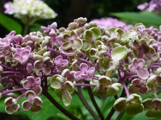 close up of hydrangea ayesha flower
