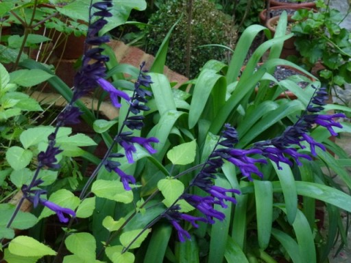 salvia amistad in garden border