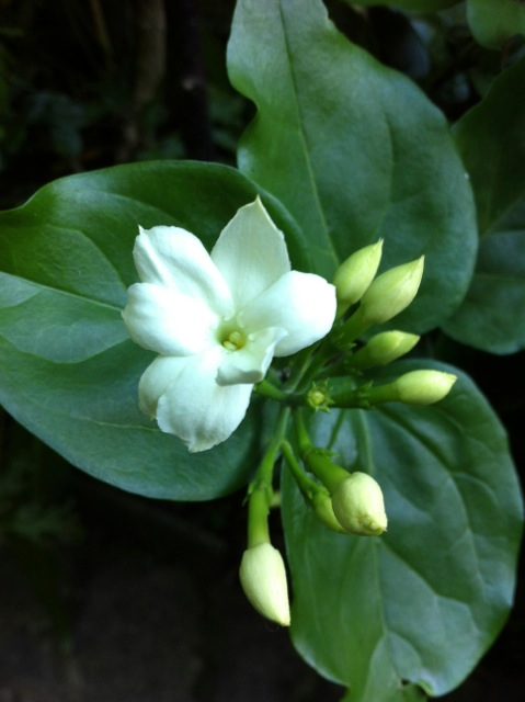 sambac jasmine flowering profusely