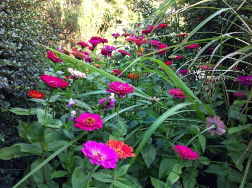 vibrant pint zinnias at Dixter