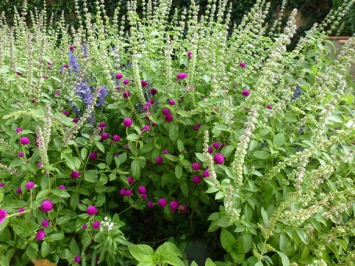 salvia and lemon basil in border