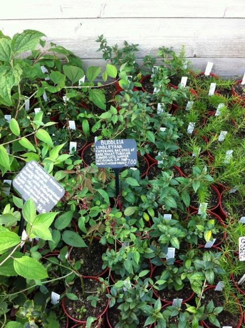 healthy looking seedlings for sale at great dixter