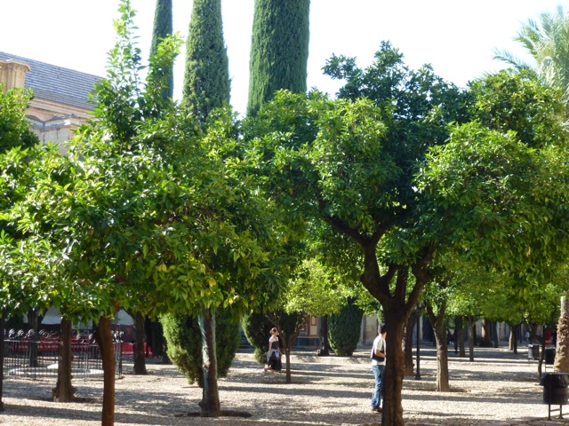 mature trees in the courtyard of the great mosque