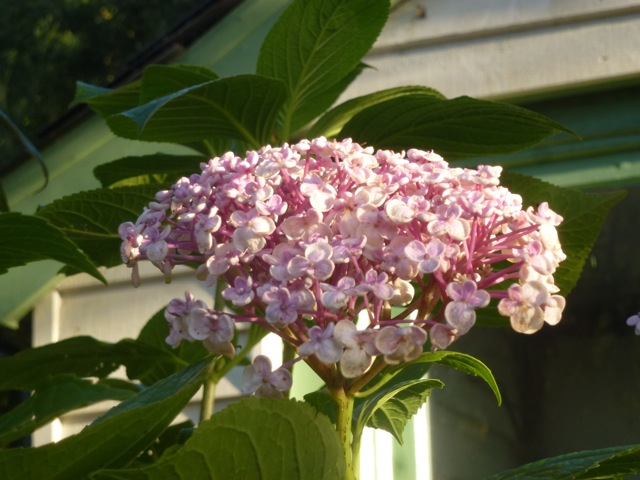 hydrangea still flowering in November