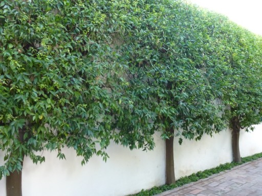 pleached trees line a courtyard wall