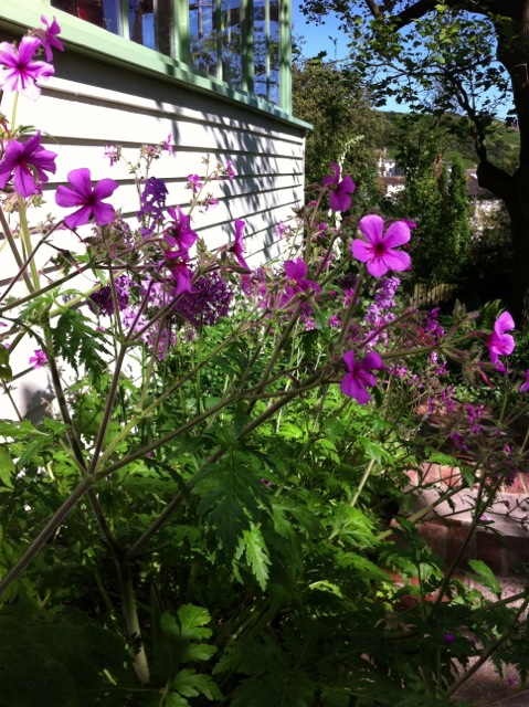 Geranium Palmatum in flower