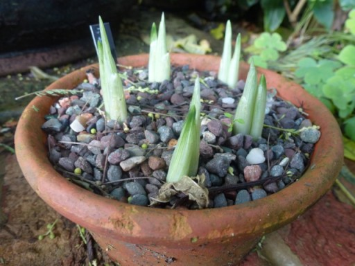 fresh green shoots of iris reticulata
