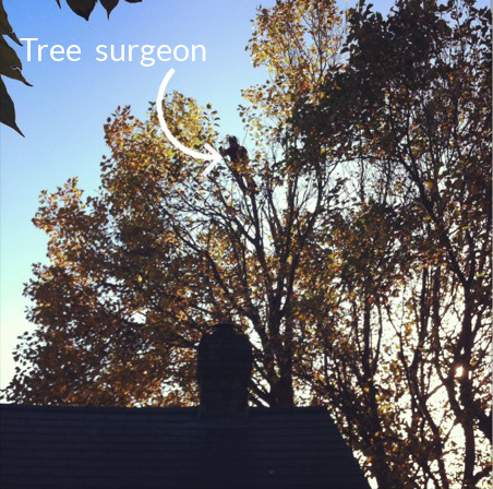 tree surgeon at work high up a tulip tree