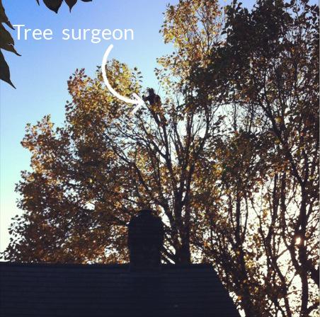 tree surgeon at work high up a tulip tree
