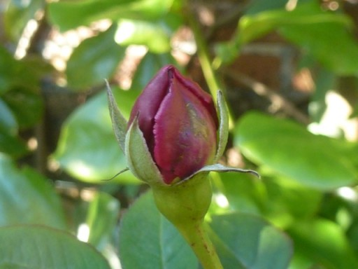perfect rose bud