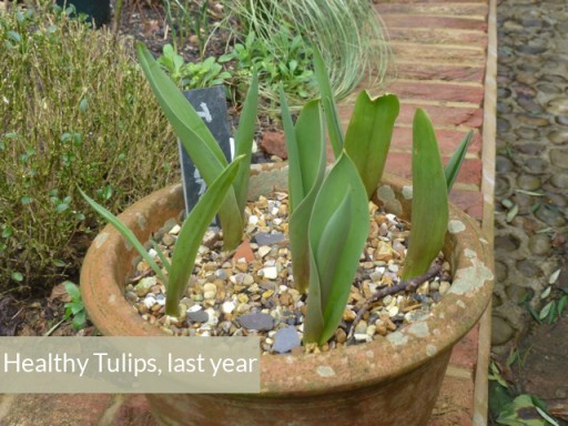 last year's tulips look so much healthier