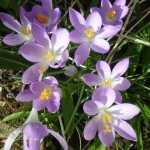 The Ever Reliable Crocus tommasinianus