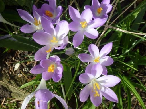 purple crocus in full bloom