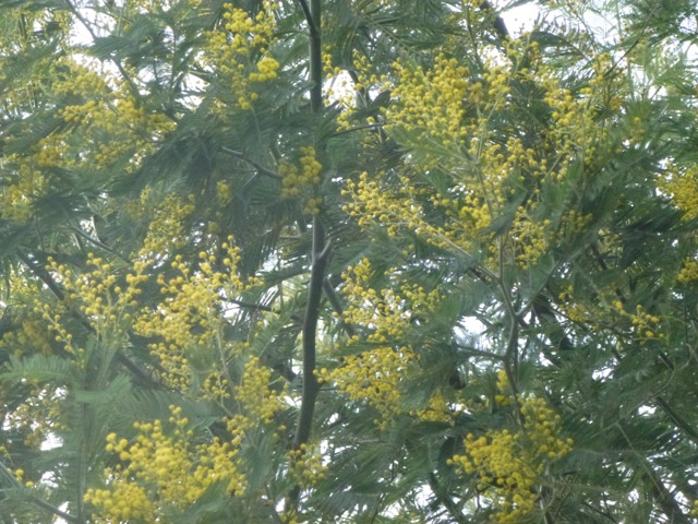 Sheltered Side of Mimosa Tree in flower