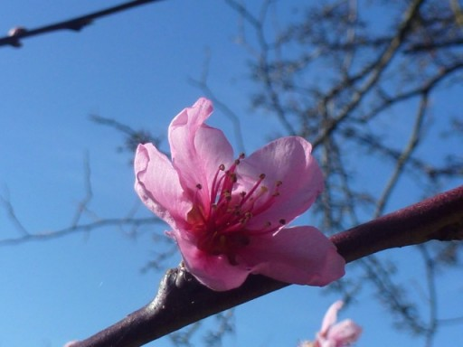pink blossom against a blue sky