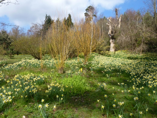 swathes of daffodils