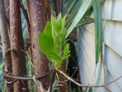 The buds of the clematis are starting to open out