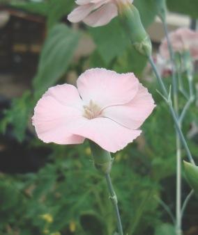 dianthus cruentas pale pink flower