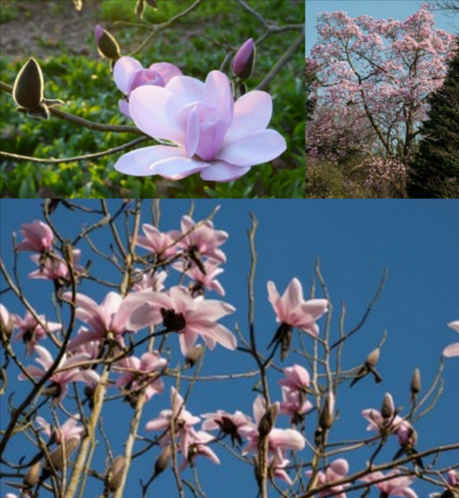 Three magnificent Magnolias in flower