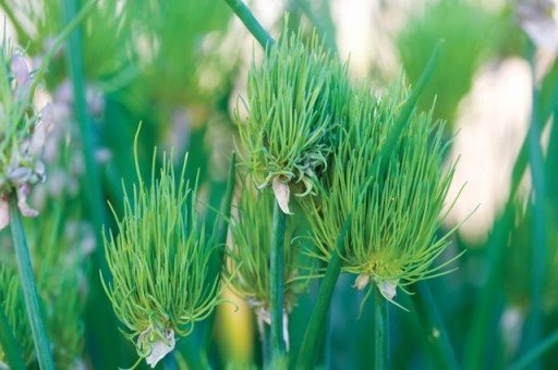 new chive plant from suttons