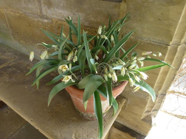 tulips on display at Gravetye