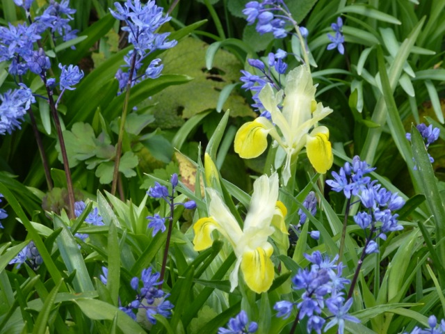 This combination of yellow roscoea and blue scilla in one of the borders looks great