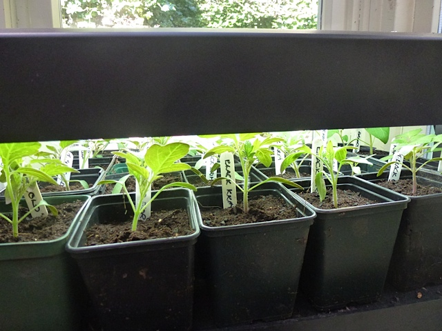 tomato seedlings thrive under propagator