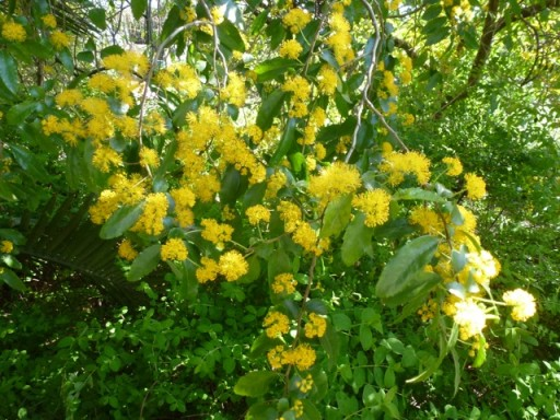 Azara  with cascading  yellow pompom flowers