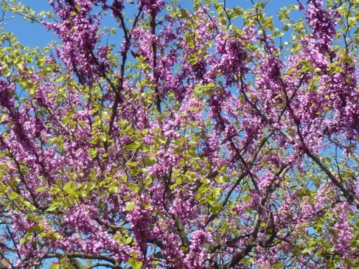 The pink blossom of Cercis siliquastrum against a blue sky