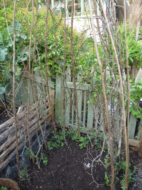Hazel and hornbeam branches combine to offer supprt to young sweetpeas
