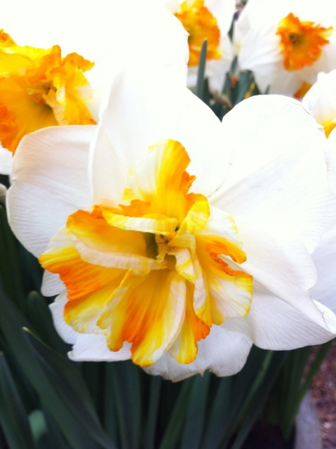 an ugly new variety of daffodil