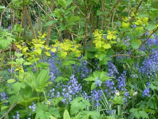 Acid green leaves of Smyrnium perfoliatum set against Bluebells