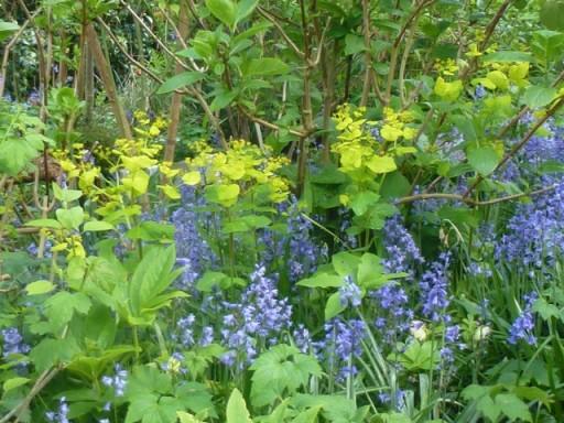 Acid green leaves of Smyrnium perfoliatum set against Bluebells
