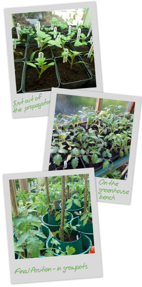 3 stages of growing tomatoes from seedling to growpot