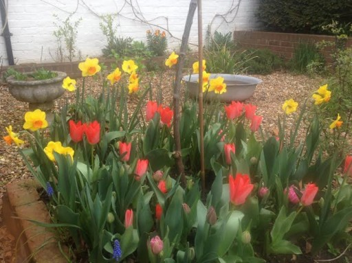tulips in border with daffodils