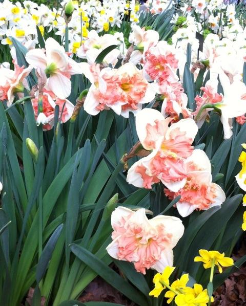 daffodil vanilla ice