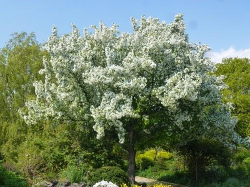 Malus floribunda flowering profusely