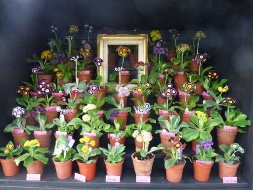 flowering auriculas on display in theatre