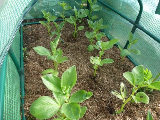 braod beans growing in a coldframe
