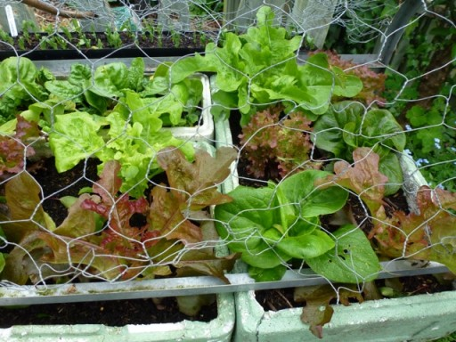 salad protected by chicken wire