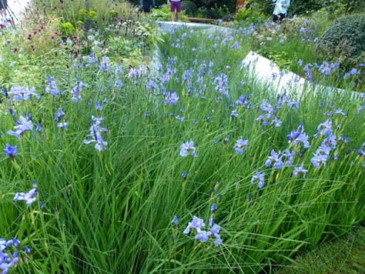 a river of iris sibirica