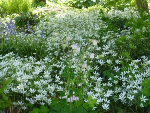 A sea of ornithogalum in flower.