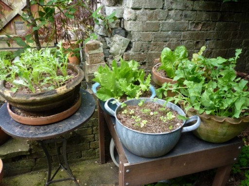 salad growing in assortment of pots