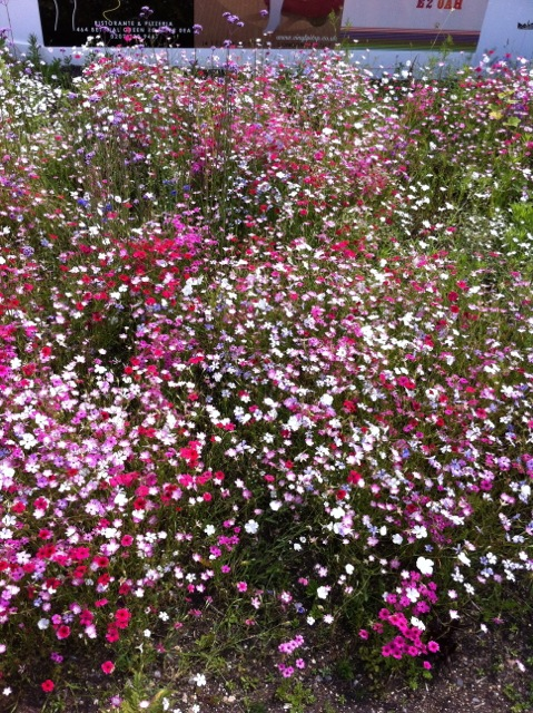 pink and yellow annuals in bloom at Olympic Park