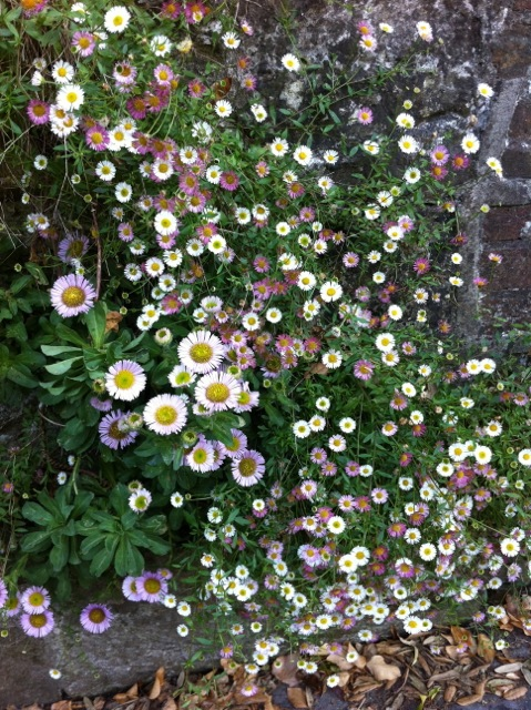 beautiful full flowering erigeron