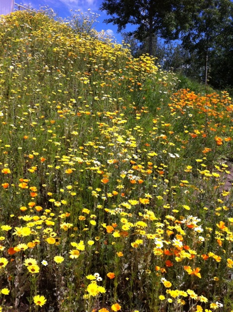 orange and yellow flowers in full bloom in June 2014 at Olympic Park London