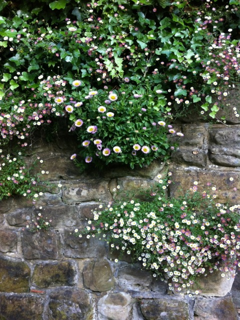 erigeron grows in a wall