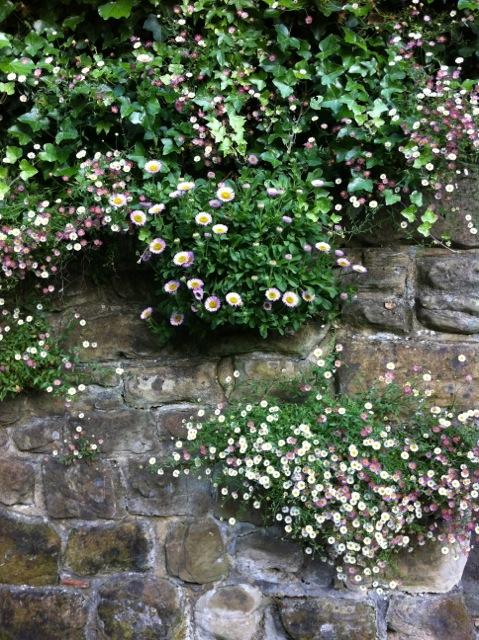 erigeron grows in a wall